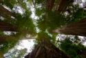 21-Redwoods